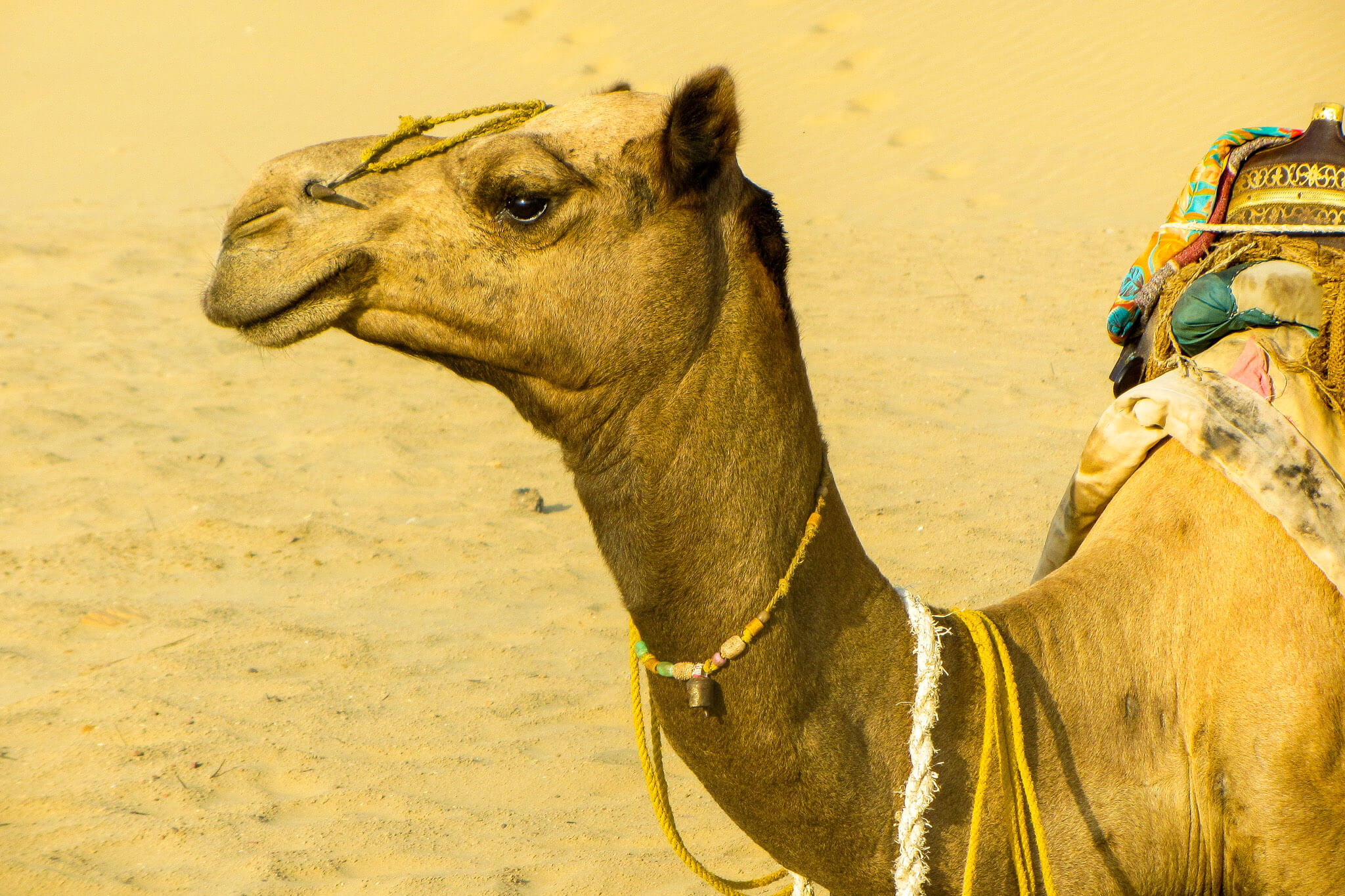 The camels of India's Thar Desert