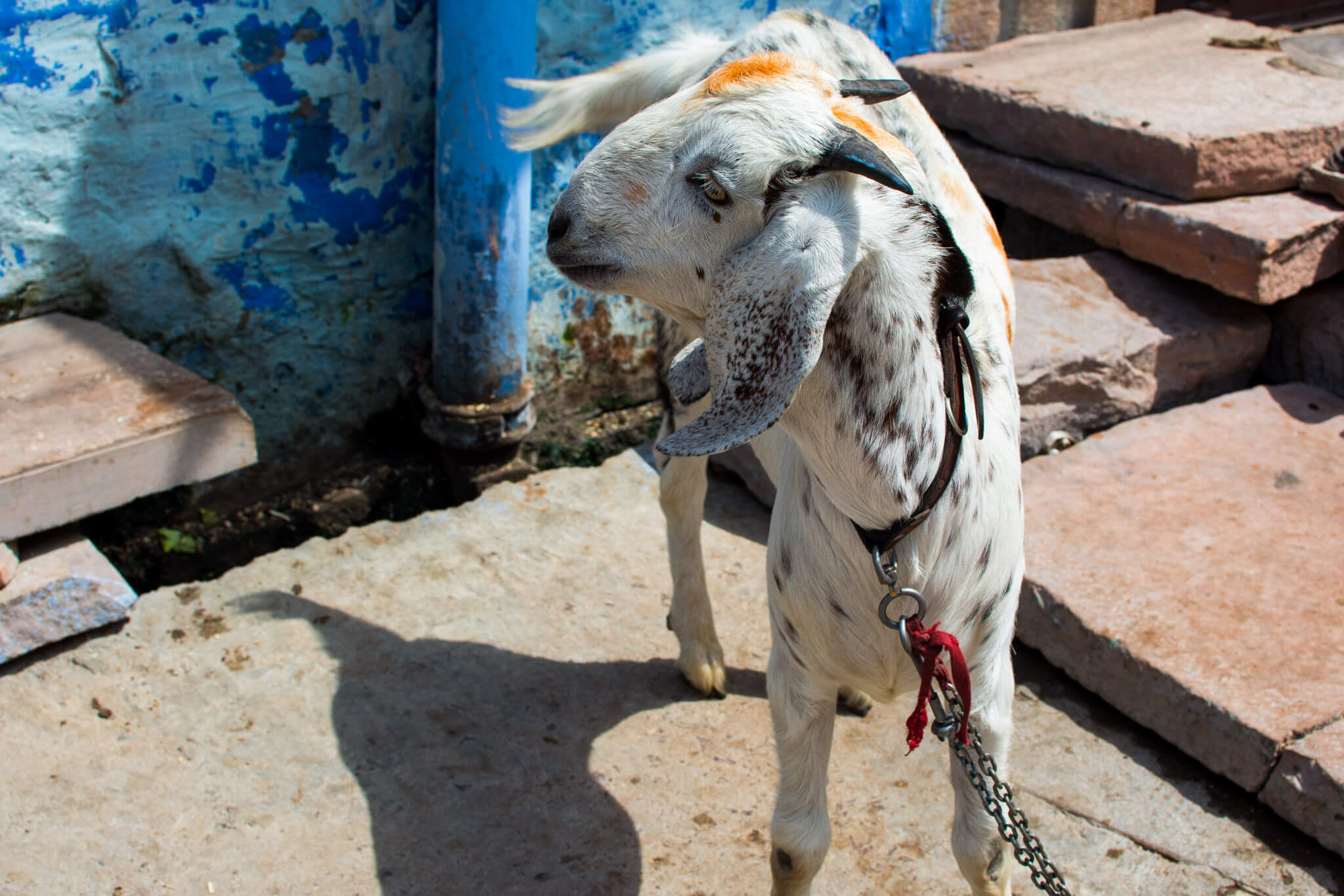 The pet goat of Jodhpur
