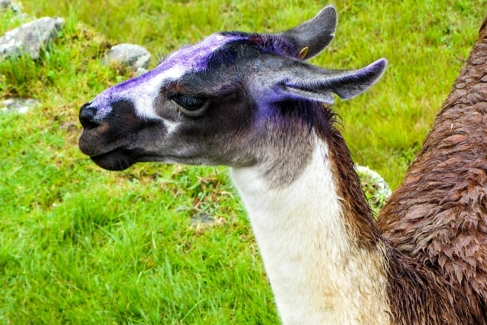Cute llamas at Machu Picchu