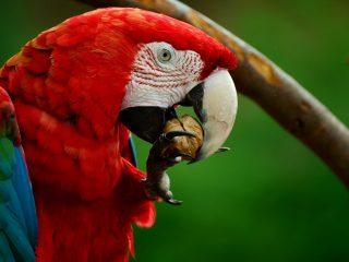 Red Macaw at Copan Ruinas