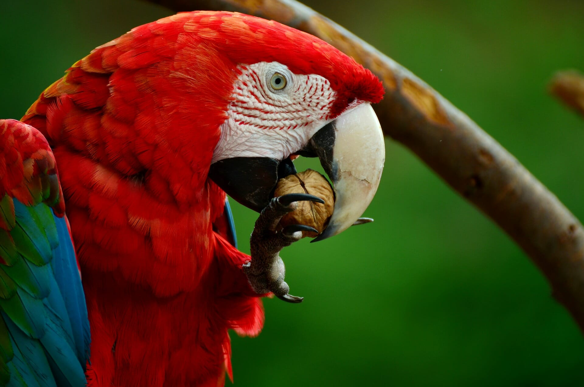 Red Macaw at Copan Ruinas