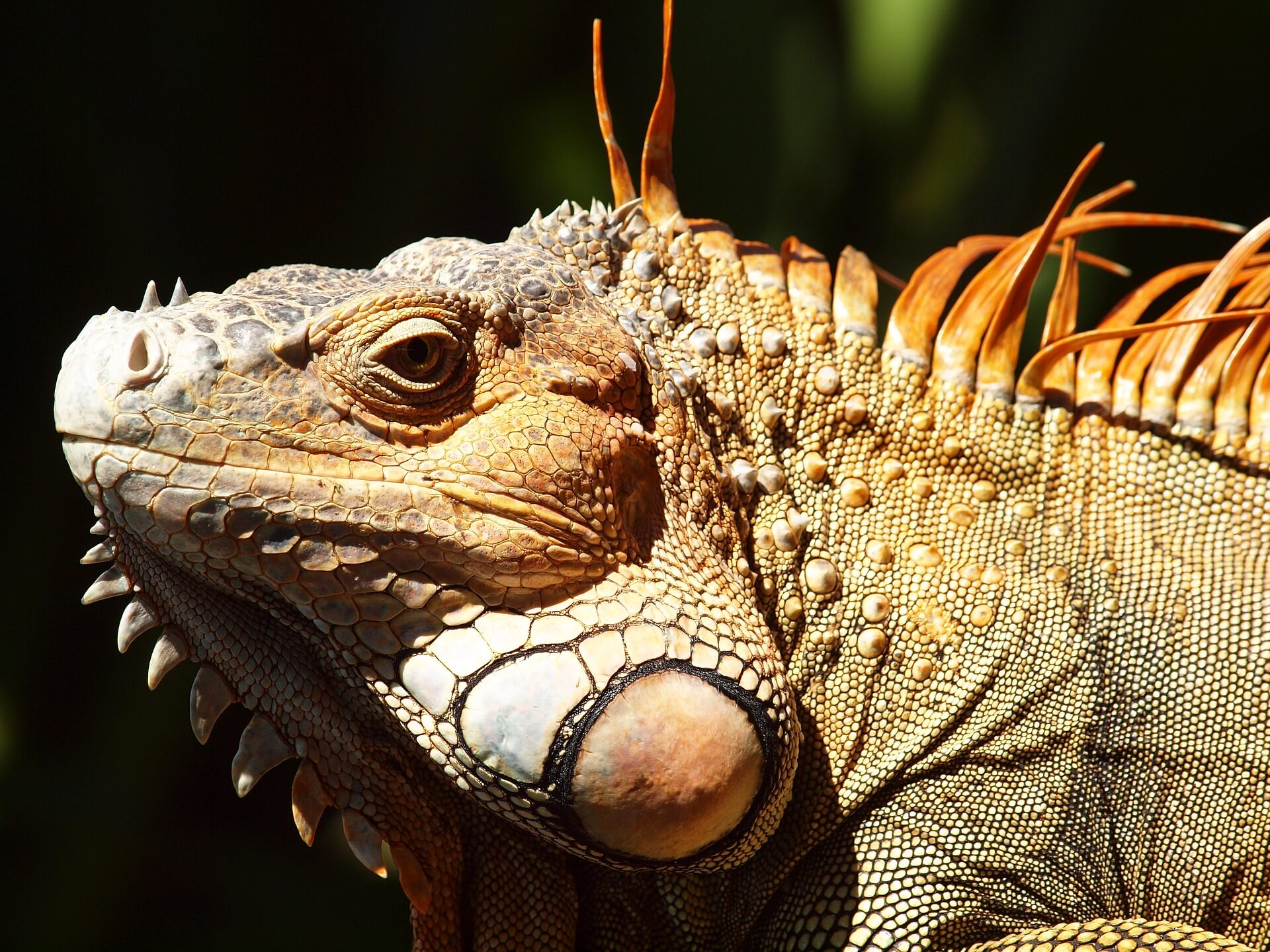 The Iguanas of Costa Rica
