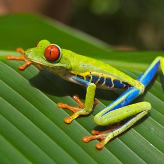Curious Costa Rican Tree Frog