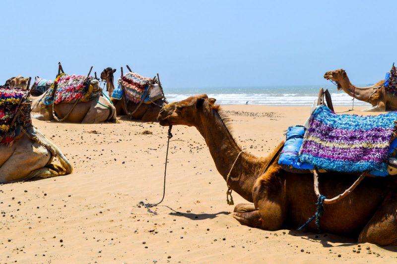 Camels at Essaouira