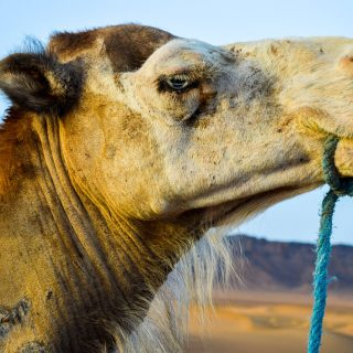 Camila the Camel at the Sahara Desert