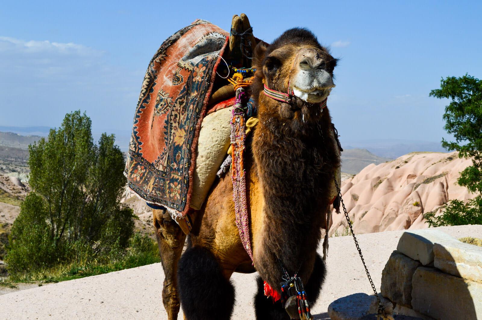 The camels of Cappadocia