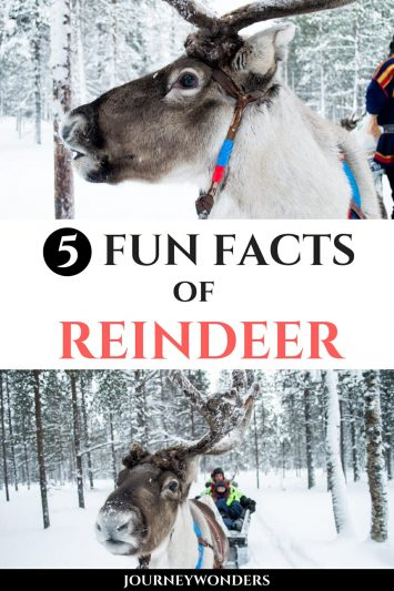 7 Fun Facts of Reindeers in Finland Lapland