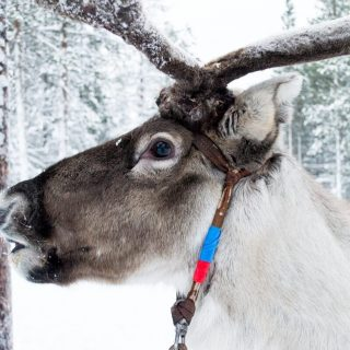 Reindeer, the companions of the Sami People