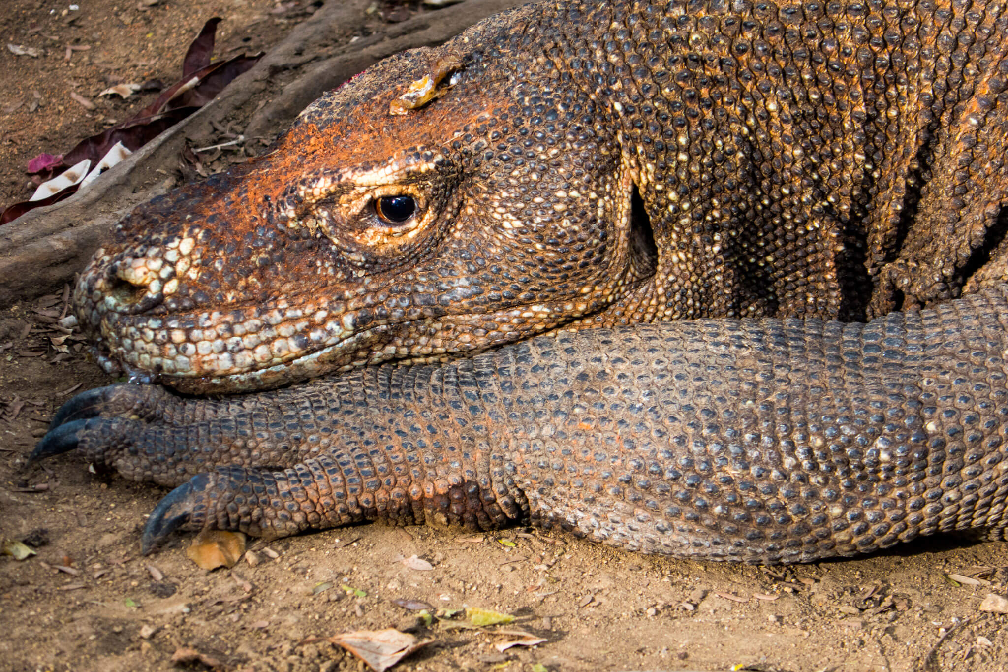 A Komodo dragon resting in Rinca Island. Komodo National Park