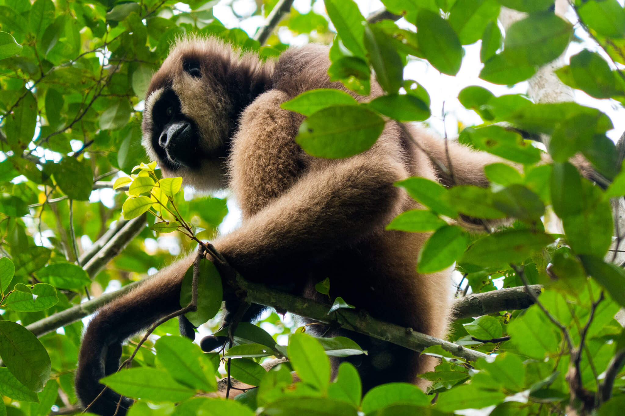 Gibbons and other monkeys in Tanjung Puting, Borneo