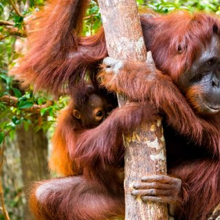 Mother and baby Orangutan in Tanjung Puting, Borneo