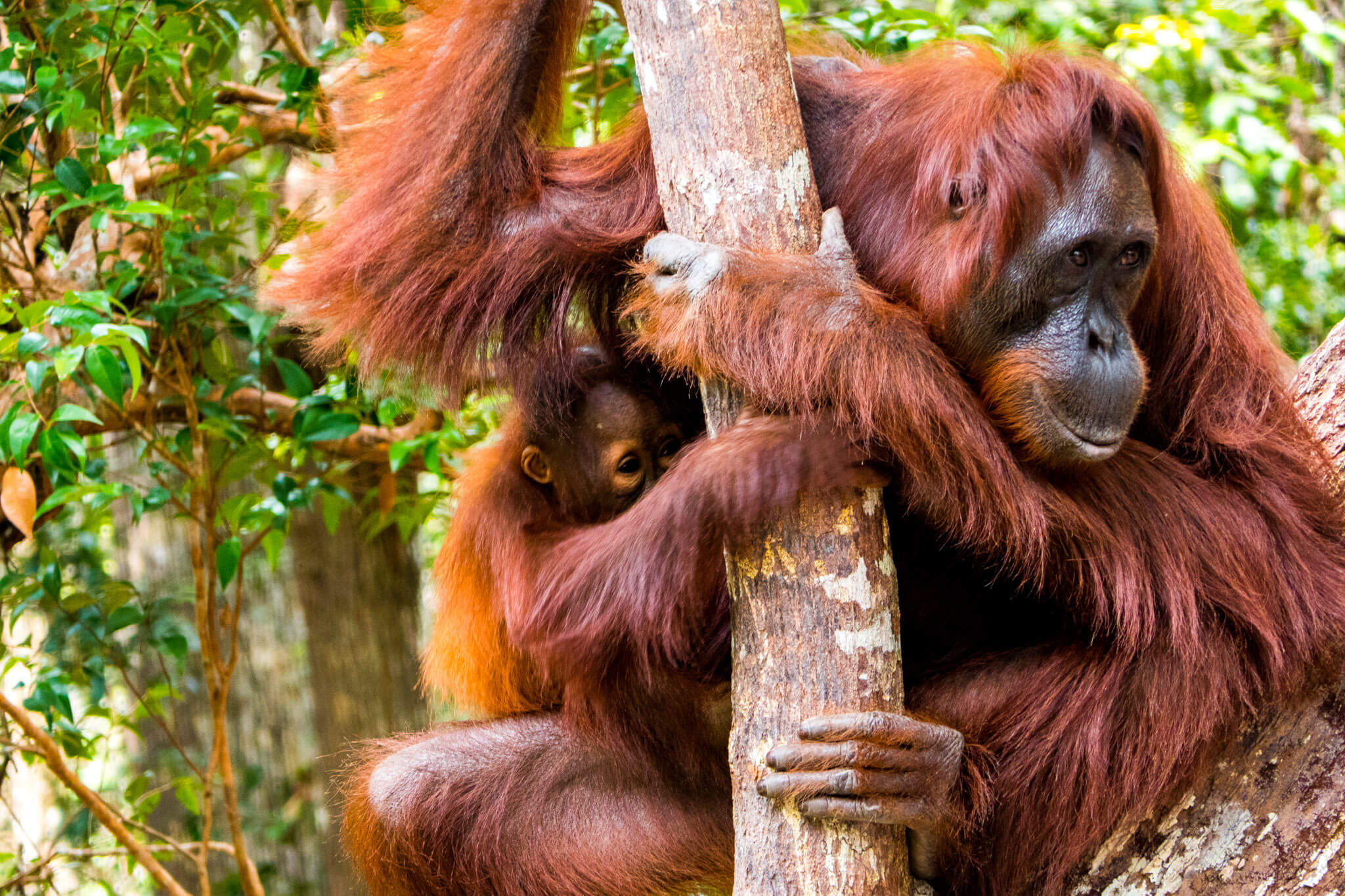 Mother and baby Orangutan in Tanjung Puting, Borneo