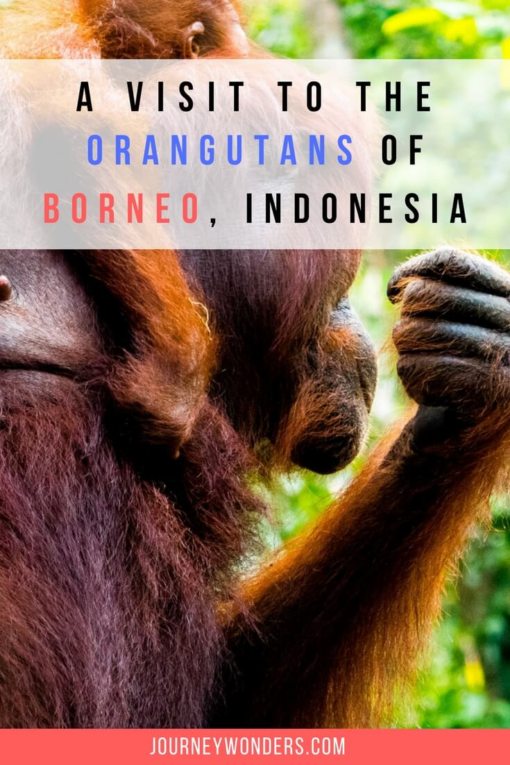 Would you like to visit the Orangutans of Tanjung Puting, Borneo? Here's all you need to know about the men of the jungle, the Orangutans of Indonesia.