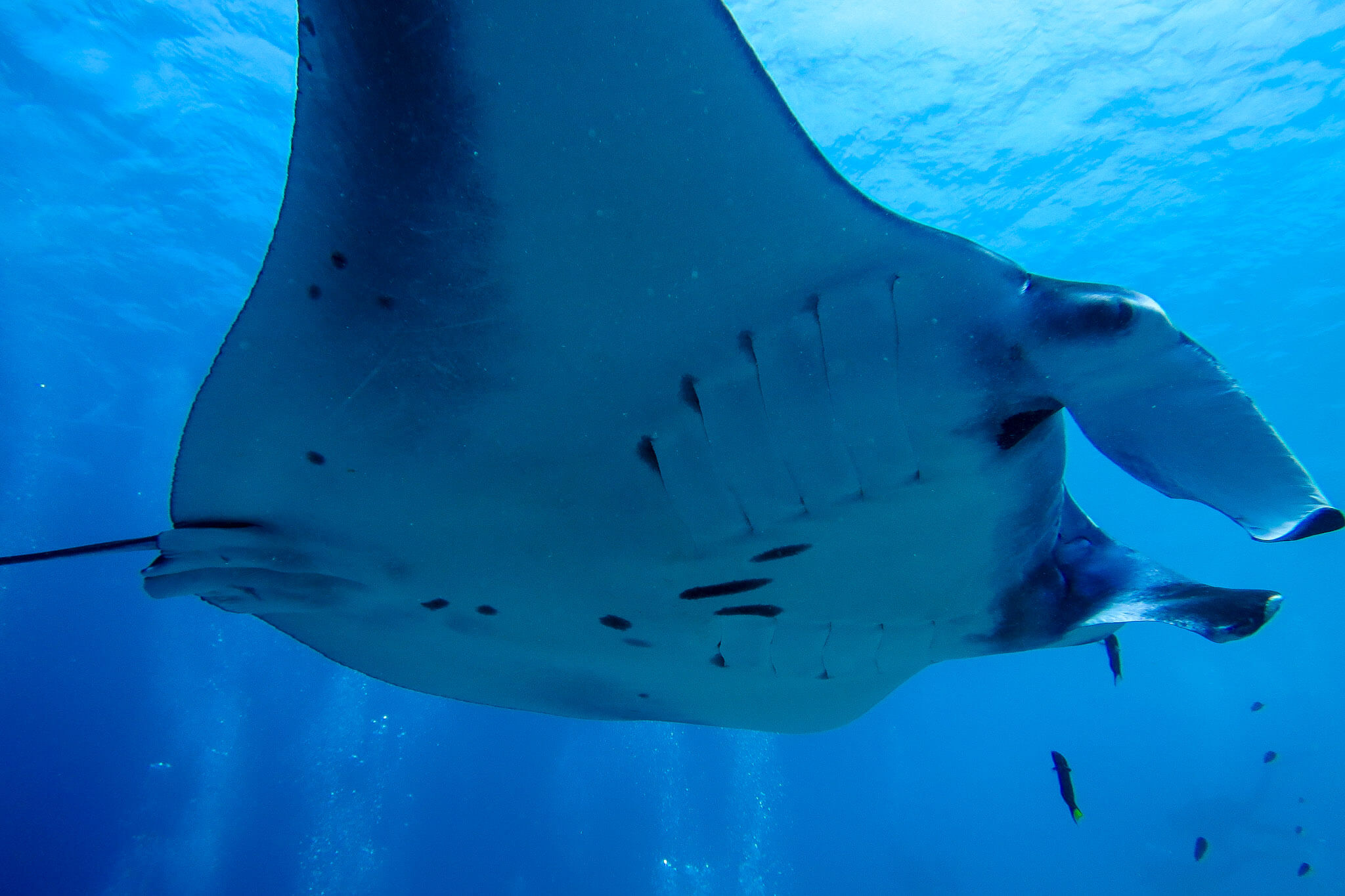 Diving with Mantas in Komodo National Park