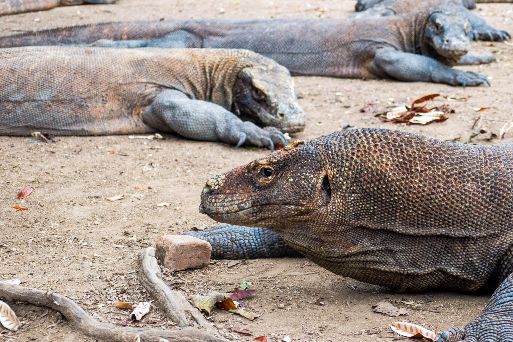 Getting close and personal with the Komodo Dragons