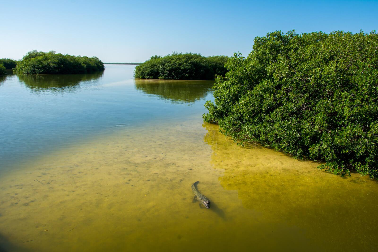 Crocodiles at the Sian Ka'an Biosphere