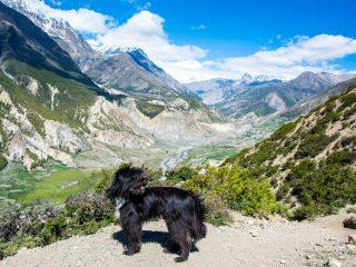 Vishnu the Dog of Wonders at Manang, Annapurna Circuit Trek