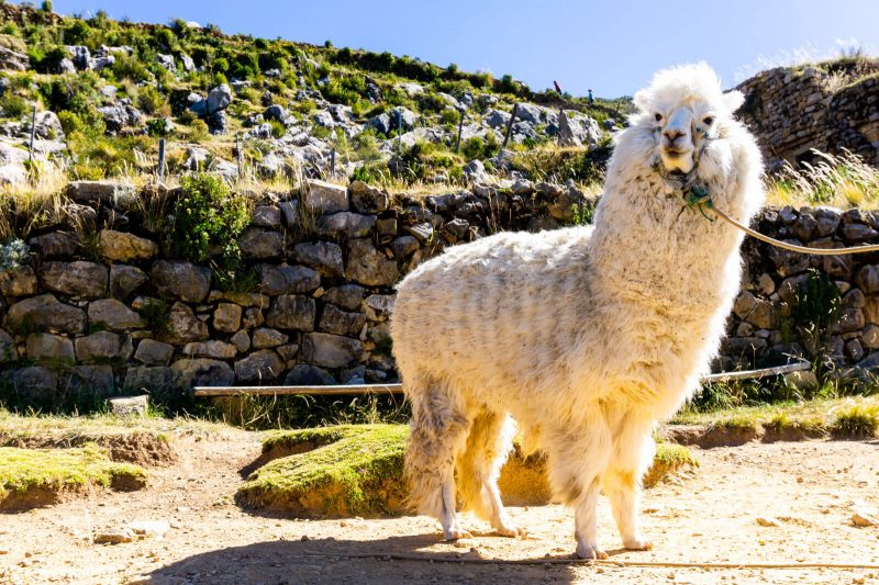 A friendly llama in Isla del Sol Bolivia