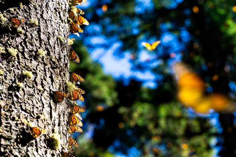 The Monarch Butterfly Migration in Mexico