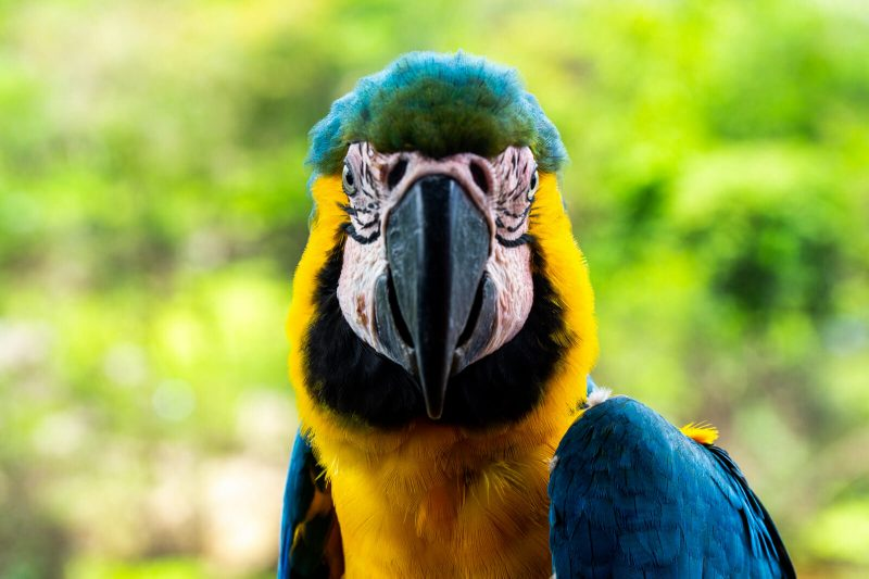 Wild Macaw found in the Amazon Jungle